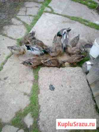 Подсадные утки Старая Русса