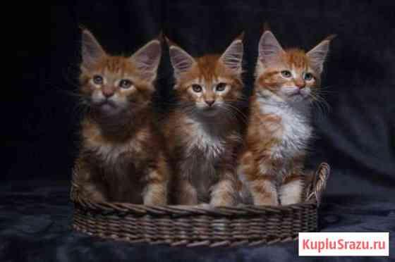 Котята мейн кун Краснообск