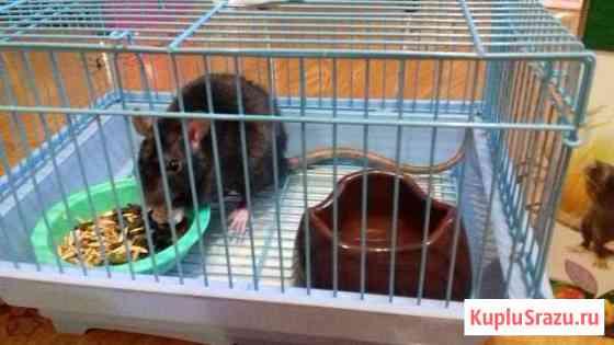 Ласковая декоративная крыса +клетка, 2 миски, корм Оренбург