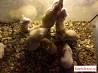 Сирийские хомяки возраст 2 месяца