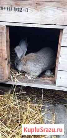 Кролик на племя Рузаевка