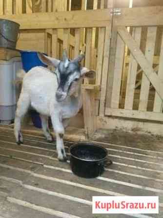 Зааненский козел и молоденький козлик Старая Русса