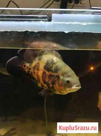 Рыба астронотус Пермь