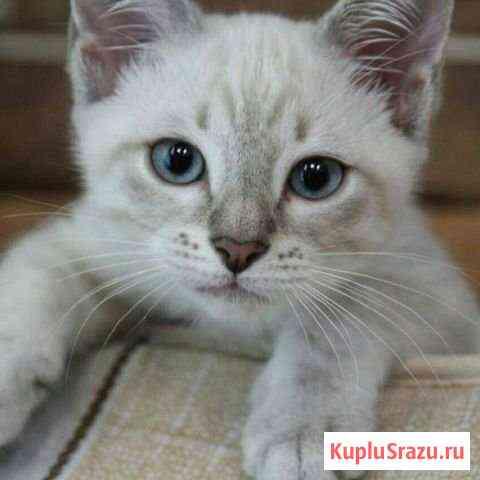 Тайский котик Орёл