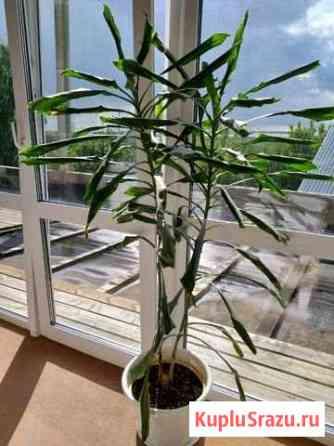 Юкка /комнатное растение / пальма Пермь