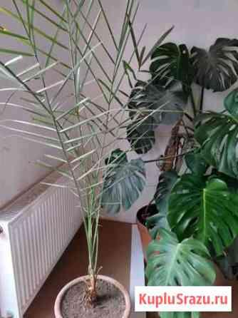 Финиковая пальма Пермь