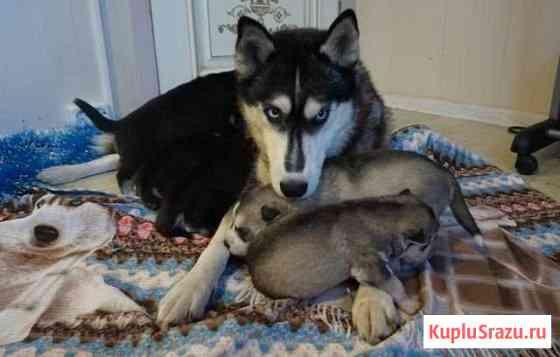 Породистые щенки хаски Кисловодск