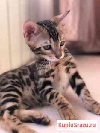 Бенгальские котята Ессентуки