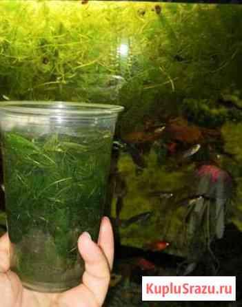 Аквариумное растение Светлоград