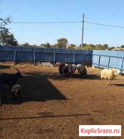 26 овец эдельбай и 11 коз Затеречный