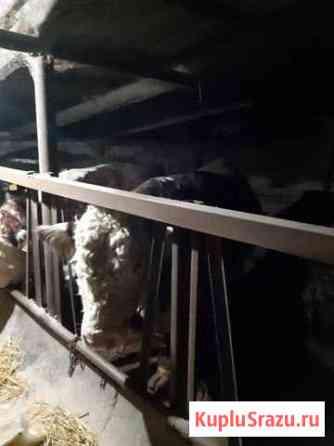 Продажа быков Соломенское