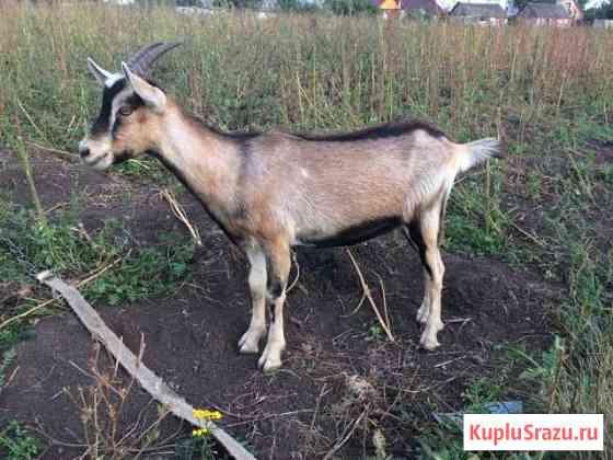 Продаются породистые козы Пронск