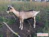Продаются породистые козы