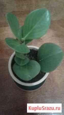 Комнатный цветок,пеперомия Владикавказ