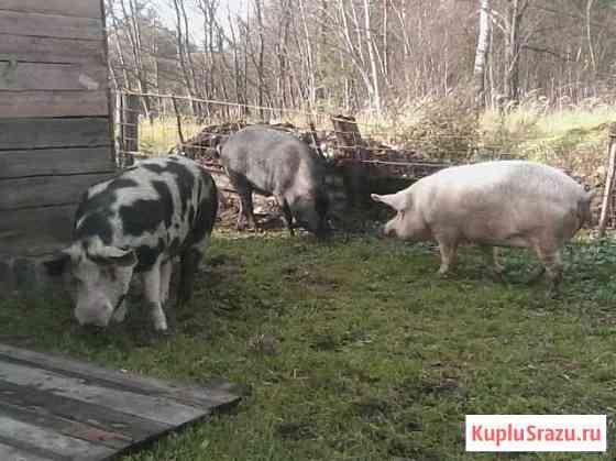 Продам свиные туши Бологое