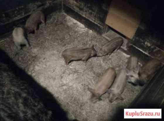 Поросята: Венгрская пуховая мангалица Конаково
