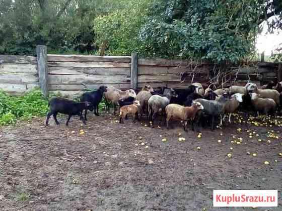 Овцы Старица