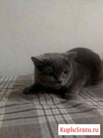 Британская кошка, в добрые руки Новомосковск