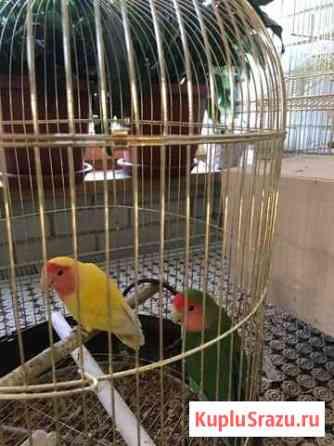Попугай Тула