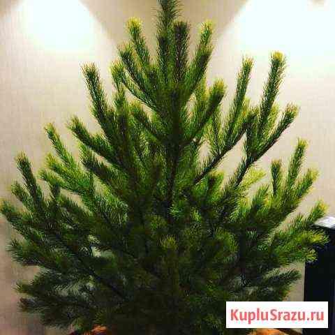 Живые елки Тюмень