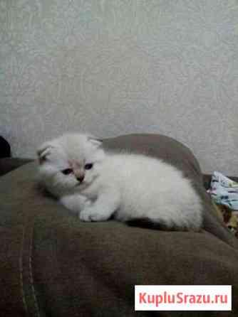 Шотландские котята Пирогово