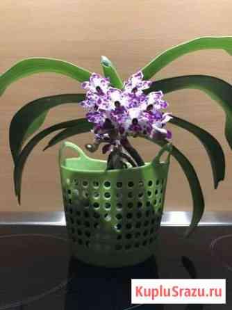 Орхидея ринхостилис гигантея Хабаровск