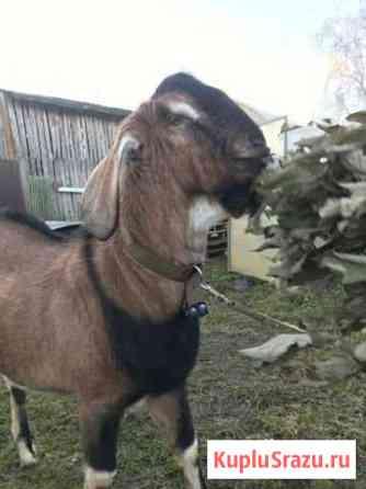 Нубийский козел Смоленск