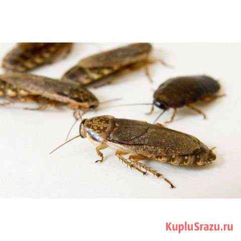 Кормовые насекомые:тараканы Смоленск