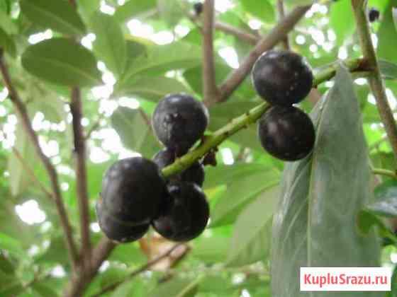 Плоды лавровишни Кисловодск