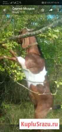 Козёл нубийский Нагутское