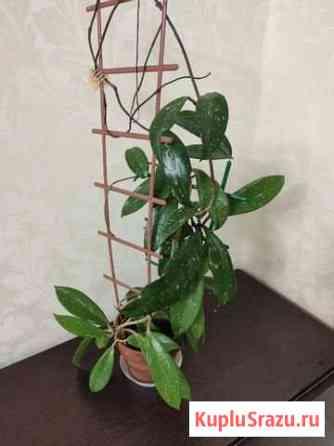 Hoya pubicalyx cv. Silver Pink Ставрополь