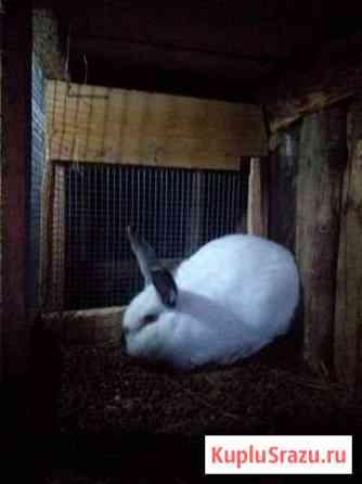Кролик на племя породы калифарниец Старица