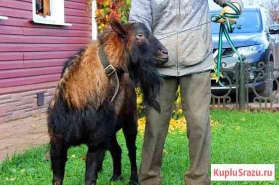Услуги чешского козла Переславль-Залесский