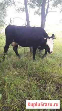 Корова Дубна