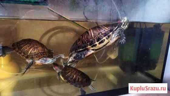 Красноухие черепахи с аквариум 100 литров Ломинцевский