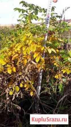 Роза морщинистая ругоза Заокский