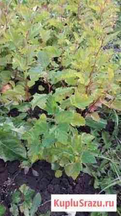 Пузыреплодник калинолистный зеленый Заокский