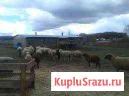 Продам:поросят; овец Игра
