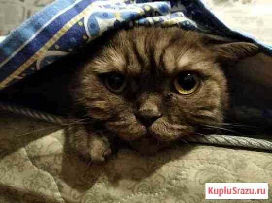 Кошка шотландская Чебоксары