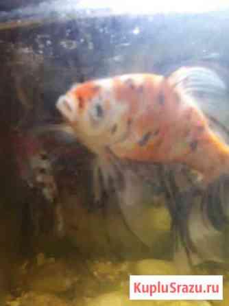Рыба Углич