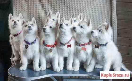Сибирский хаски - щенки от титулованных родителей Шишкин Лес