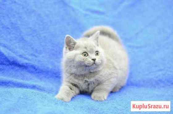 Британские плюшевые котята Череповец