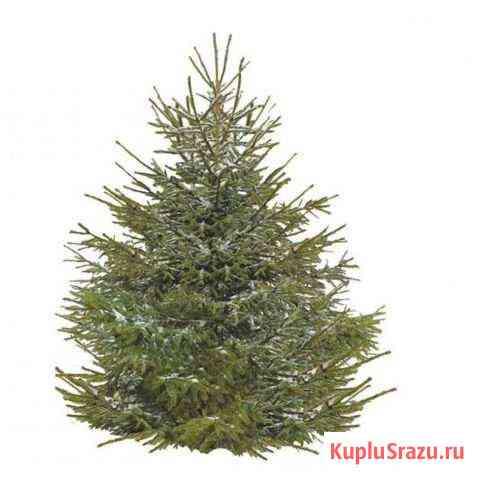 Живая русская елка 1.75-2 м Санкт-Петербург