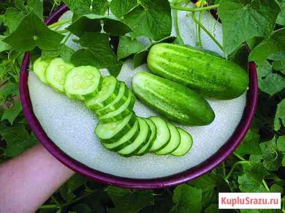 Огурец Литл Лиф.мелкий листочек.вкусный огурчик. Семена Новосибирск