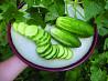Огурец Литл Лиф.мелкий листочек.вкусный огурчик. Семена