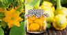 """Патисон корнишон """"Копейка"""",желтый сорт. Новинка. Семена"""