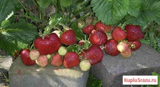 Клубника Чамора Туруси, гигант из Японии, семена Новосибирск
