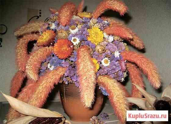 Злак Лисий хвост. Сетария сухоцвет, зимний букет, семена Новосибирск