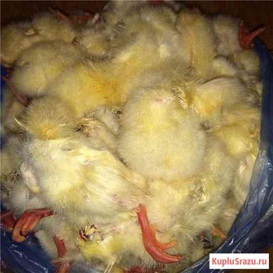 Суточные цыплята на корм животным, заморозка Екатеринбург