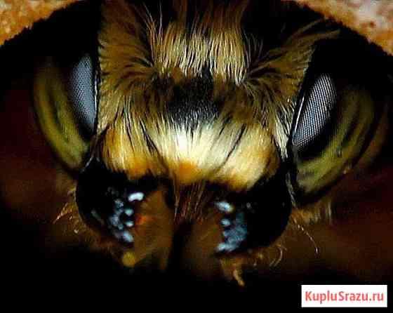 Пчелопакеты Карпатка, Карника. Привоз пчелопакетов на 2020 год Томск